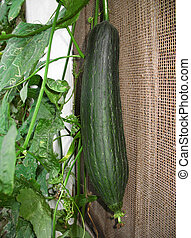 Loofah Plant 4 - A green loofah gourd and plant in a home...