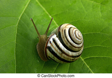 Snail at the green leaf