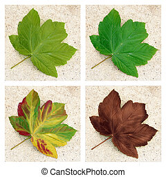Sycamore leaf - the four seasons