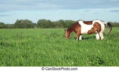 Horses in the summer pasture - Horses eating grass in the...