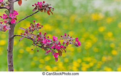 a branch of a blossoming apple tree