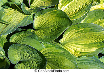 Foliage of decorative plant Hosta (Funkia). Natural green...