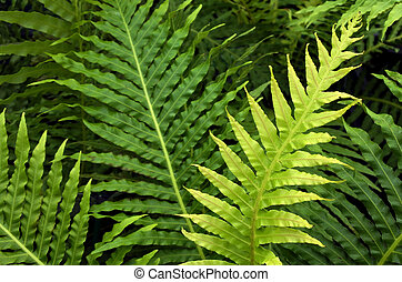 Silver Lady Fern (Blechnum gibbum) Nature background