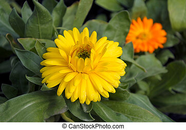 Yellow and orang gerbera flowers Nature background