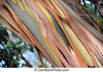 Eucalyptus, Gum Tree, north of Madeira island, Portugal