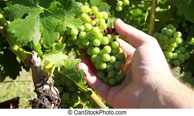 Hand inspecting green wine grapes