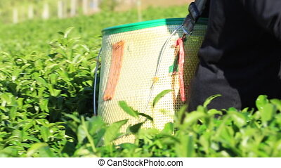 The tea harvest by hand as the workers move laboriously...