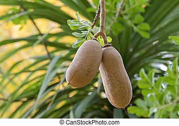 Closeup fruit of Sausage tree Kigelia growing in Adelaide,...