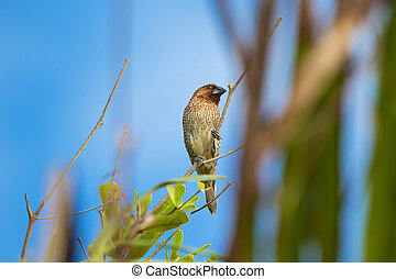 Scaly-breasted Munia bird in brown color with marking on...