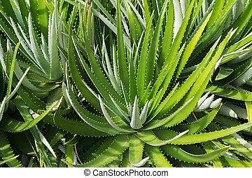 Dyckia encholirioides plant with thorny leaves growing in...
