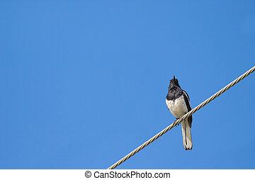 Acero, cable, Se posar, urraca, pájaro, negro, oriental,...