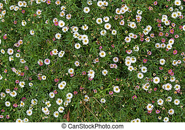 Santa Barbara daisy, Spanish daisy flowers in white, pink...