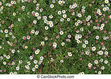 Santa Barbara daisy, Spanish daisy flowers in white, pink...