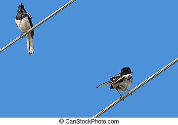 oriental, urraca, Robin, pájaro, en, negro, y,...