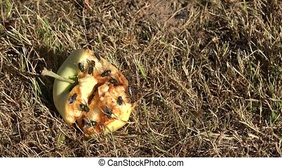 flies and bees eat rotten apple lying on ground in garden 4K...