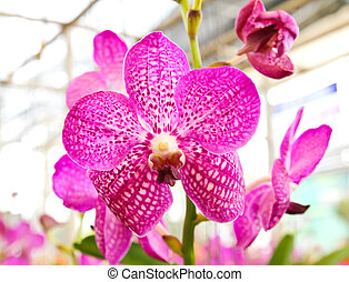 Purple pink orchid in a Garden