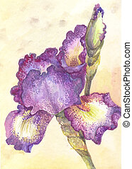 Purple iris in watercolor. One flower on yellow background.