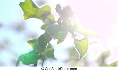 Cherry twig with leaves on sun background in full HD