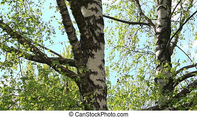 Birch-trees in the forest - Birch-tree in the forest in full...