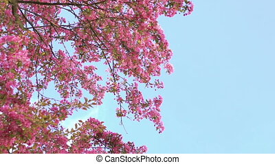 Big paradise apple-tree's pink flowers blossom moving on sky...