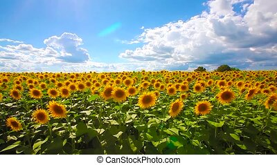 flowering sunflowers on a background cloudy sky