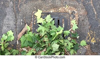 leaves on a manhole - green leaves covering a manhole