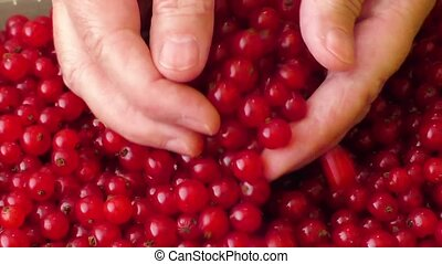 Red currants in a womans hands