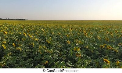 shot over a field of sunflowers
