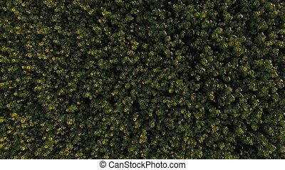 A field of sunflowers aerial view.
