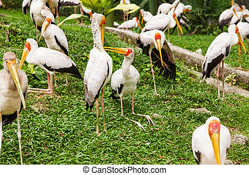 Flock of milky stork Mycteria cinerea Big bird with yellow...