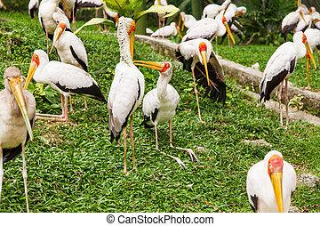 Flock of milky stork (Mycteria cinerea). Big bird with...