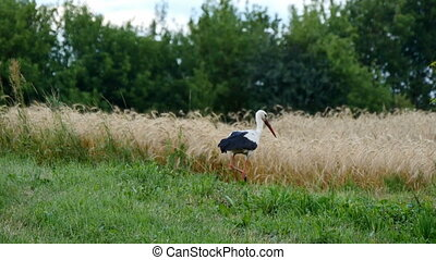Stork is walking on grass