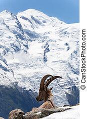 Capricórnio, em, a, francês, Alpes