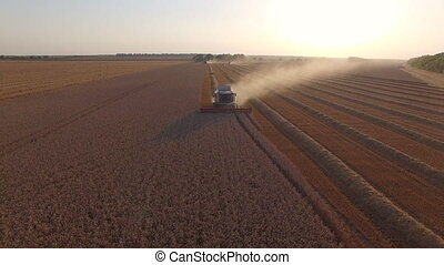 harvester threshing wheat at sunset.