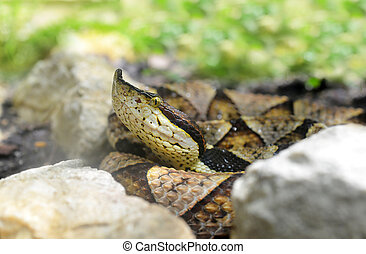 snake Hundred-pace pit viper - Venomous snake Hundred-pace...
