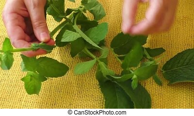Closeup fresh peppermint leaves - Culinary aromatic herbs....