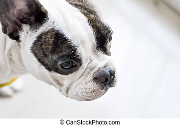 absent-minded French bulldog or French bulldog -...