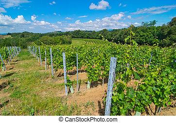 vineyard in a semicircle prepared to make wine - hill...
