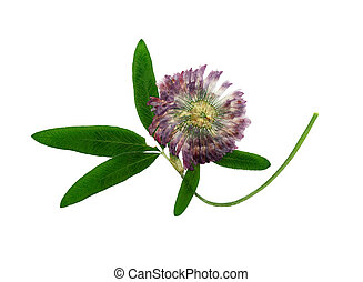 Pressed and dried delicate flower alfalfa   Isolated