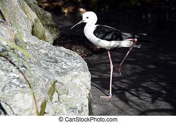 Black and white stilt bird - Close up of Black and white...