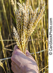 spikelets of wheat in the hands