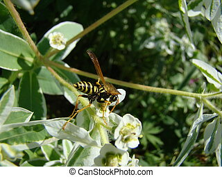 wasps-wishing harmful insects are common throughout Europe