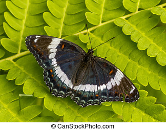 White Admiral - This beautiful White Admiral butterfly was...