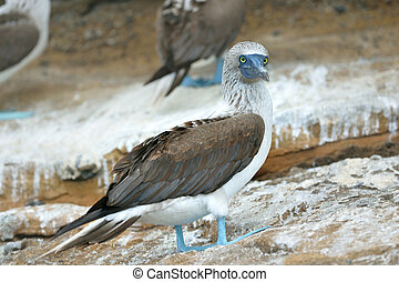 blue-footed booby is perching on the ground