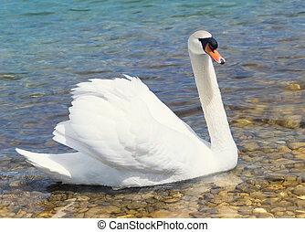 Swan swims in shallow water - A white swan swims in the...