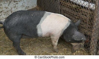 Pig Nutrition with Ecological Food - A pig is eating healty...
