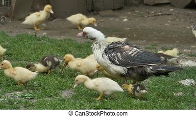 Duck with Baby Nibbling Grass - A duck with her babies are...