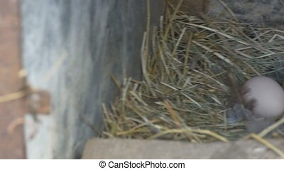 Eggs in Nest - Pan shot to some fresh fowl eggs in the nest,...