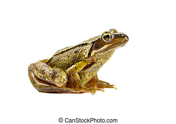 Common brown frog sideview look - Common Brown frog (rana...
