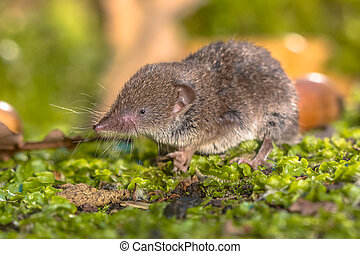 Crocidura Shrew walking on forest floor - Greater...